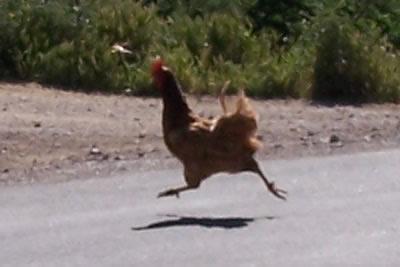 chickencrossingtheroad