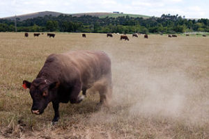 320px-Angry_Bull_in_PastureSourceBartHinddink-