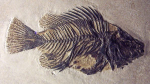 The fish fossil Priscacara clivosa found in Wyoming (probably Green River Formation). It lived in the Early Eocene (50 million years ago). Source: Michael Popp.