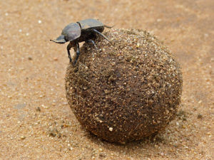 Behold the Large Copper Dung Beetle (Kheper Nigroaeneus) of South Africa. Source: Bernard Dupont from France. ©Creative Commons.