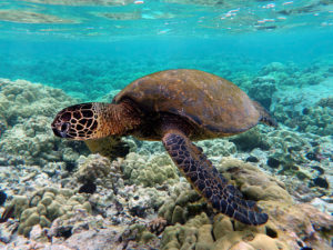 640px-Green_turtle_swimming_over_coral_reefs_in_Kona-SRC-Brocken inaglory