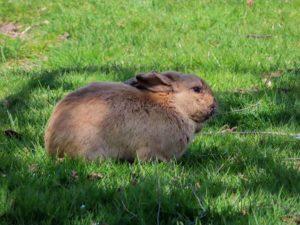 A bunny of Langley, WA.